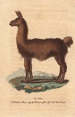 Llama Lama glama