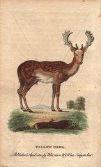 Fallow deer Dama dama (Cervus dama)
