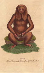 Three-toed sloth Bradypus tridactylus
