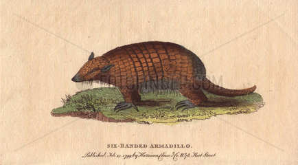 Six-banded or yellow armadillo Euphractus sexcinctus
