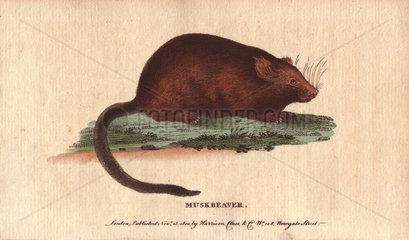 Muskbeaver or muskrat Castor zibethicus or Ondatra zibethicus