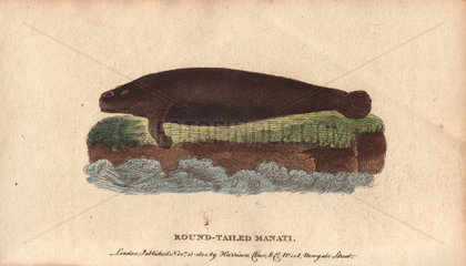 Round-tailed manati or manatee Trichechus manati
