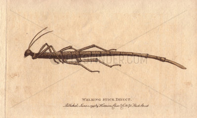 Walking stick insect from the Cape of Good Hope.
