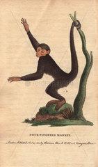 Four-fingered monkey  coaita  spotted monkey  or black spider monkey Ateles paniscus
