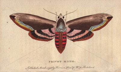 Privet moth or Privet Hawk Moth Sphinx ligustri