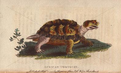 African tortoise Psammobates geometricus