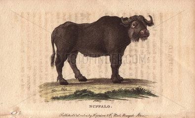 Buffalo Bos bubalus