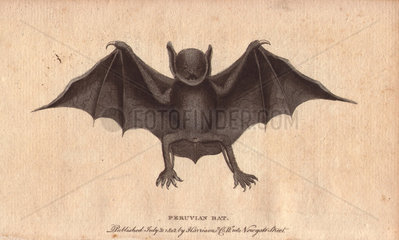 Peruvian bat or harelipped bat Vespertilio leporinus Noctilio leporinus