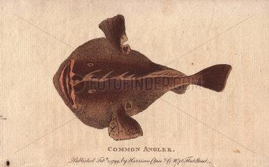 Common angler fish Lophius piscatorius