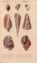 Tropical shells including Colombella  Buccinum  Voluta  Terebra  Conus imperialis and Harpa.