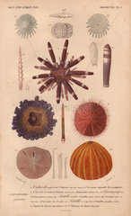 Different types of colorful sea urchins and their spines.