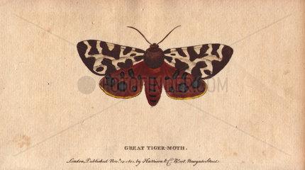 Great tiger moth (or garden tiger moth) Arctia caja