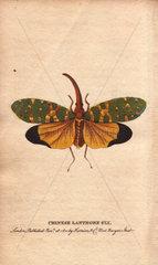 Chinese lanthorn fly or lantern fly Pyrops candelarius