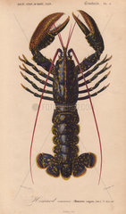 Blue lobster (Homarus vulgaris)  with dark blue shell flecked with gold.
