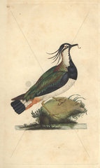 Lapwing or pewit with raggedy crest  and glossy blue  green  purple and brown plumage. Vanellus vanellus (Tringa vanellus)