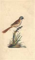 Bearded titmouse or bearded reedling. Panurus biarmicus (Parus biarmicus)