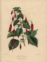 Crimson fuchsia Fuchsia splendens