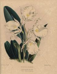 Fragrant Trichopilia orchid Trichopilia fragrans