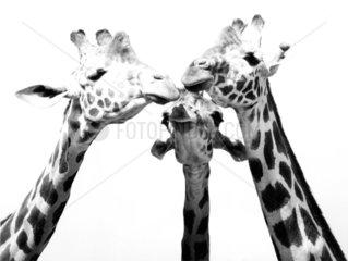 Drei Giraffenkoepfe