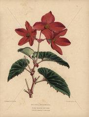 Scarlet begonia intermedia