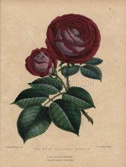 Crimson and mauve tea rose Cheshunt hybrid
