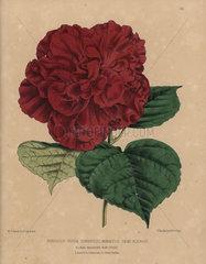 Crimson hibiscus variety Hibiscus rosa sinensis miniatus semi-plenus
