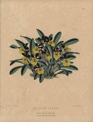 Rich blooming oncidium orchid Oncidium croesus