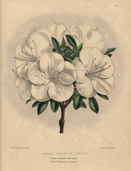 White azalea hybrid Azalea Beauty of Surrey