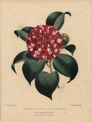 Camellia hybrid Souvenir d'Emile Defresne