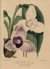 Lycaste skinneri orchids