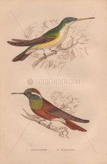 Azure-crowned hummingbird (Amazilia cyanocephala) White-eared hummingbird (Hylocharis leucotis)