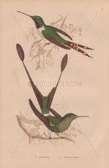 Dupont's hummingbird (Trochilus dupontii) Racket-tailed hummingbird (Trochilus platurus)