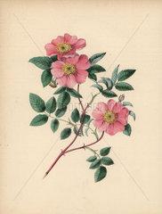Wild rose Rosa parviflora
