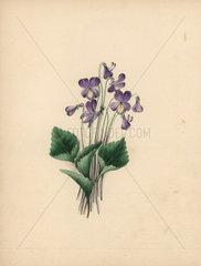 Hoodleaved violet Viola cucullata