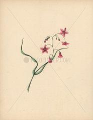 Trailing arbutus or mayflower Epigaea repens