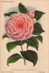 Pink camellia Madame P. de Pannemaeker Camellia japonica  Thea japonica