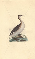 Dusky grebe or black and white dobchick (dabchick) shown standing in marshy land. Tachybaptus ruficollis (Podiceps nigricans)