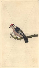 Lesser spotted woodpecker with crimson cap  white barred black wings. Dendrocopos minor (Picus minor)