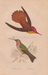 Ruby-crested hummingbird (Chrysolampis mosquitus) Northern or ruby-throated hummingbird (Archilochus colubris)