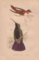 Ruff-necked  Rufous or Nootka hummingbird (Selasphorus rufus) Black-throated mango hummingbird (Anthracothorax mango)