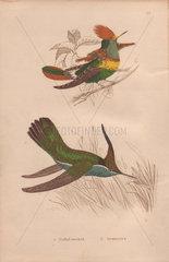 Tufted-necked humming bird (Trochilus ornatus) Delalande's humming bird (Stephanoxis lalandi)