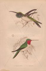 Ruby-throated hummingbird (Calothorax lucifer) Amethystine hummingbird (Calliphlox amethystina)