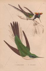 Double-crested hummingbird (Trochilus cornutus) Green violet-ear hummingbird (Colibri thalassinus)