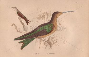 Pigmy hermit (Phaetornis pygmaeus) Gigantic or giant hummingbird (Patagona gigas)