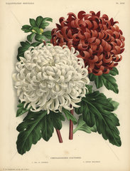 Autumn chrysanthemums: Mrs. H. Cannell and Edwin Molyneux