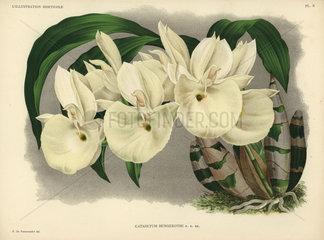 Felt-capped Catasetum or Mother of Pearl Flower