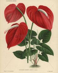 Scarlet flamingo flower or anthurium lily