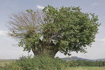 Naturdenkmal Rasierpinselbaum  Landkreis Lichtenfels  Bayern  Deutschland