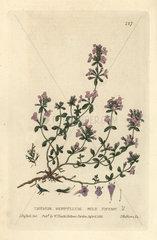 Wild thyme  Thymus serpyllum