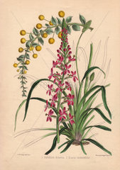 Stylidium armeria and Acacia undulaefolia